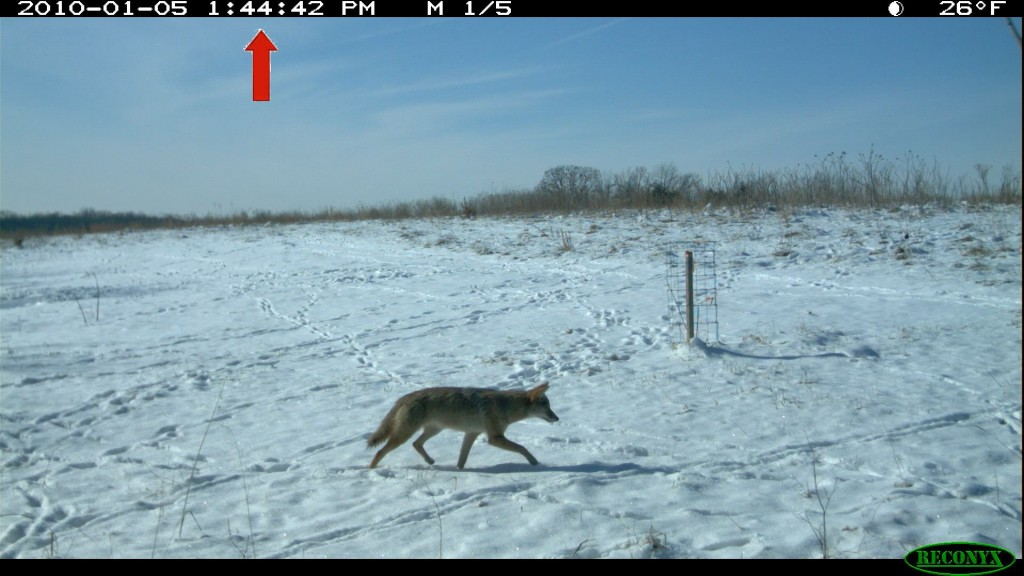 Coyote chasing deer
