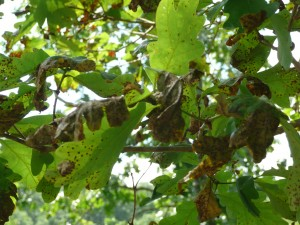 Close up view of tree with jumping oak gall