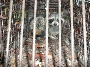 Raccoon in Trap