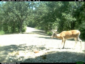 August Daylight Reconyx Trail Camera Photo of Whitetail Buck known as Crab Claw