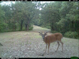 June Daylight Reconyx Trail Camera Image of Whitetail Buck with velvet Antlers
