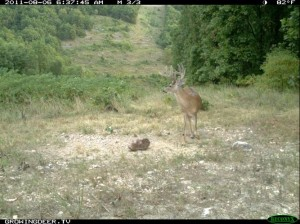Daylight Reconyx Trail Camera Image of Whitetail Buck at a Trophy Rock Mineral  Site