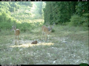 Daylight Reconyx Trail Camera Image of Two Whitetail Bucks Using Trophy Rock Mineral Station