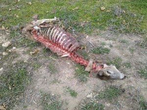 Dead whitetail deer carcass