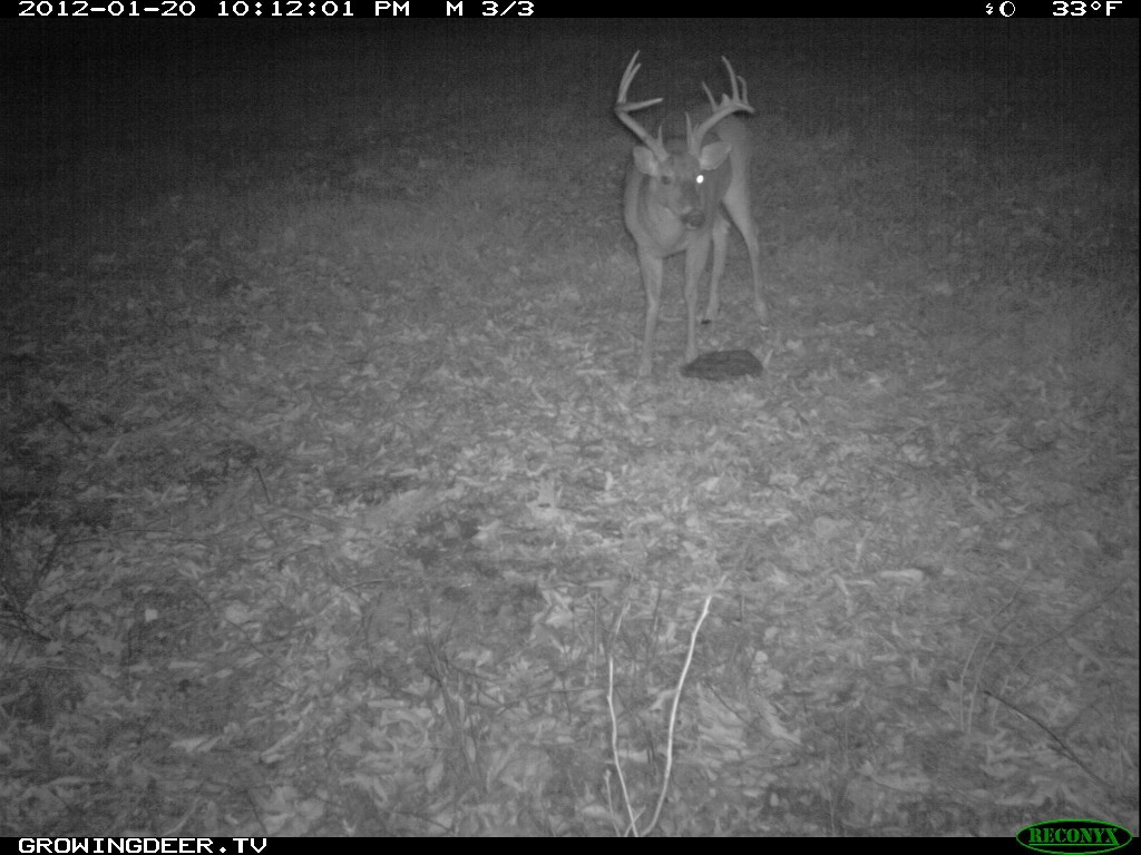 "Whitetail buck known as ""Split Brow"" is blind in right eye"