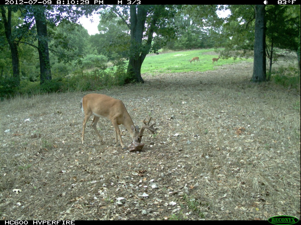 Mature white-tailed buck visiting Trophy Rock mineral site during daylight