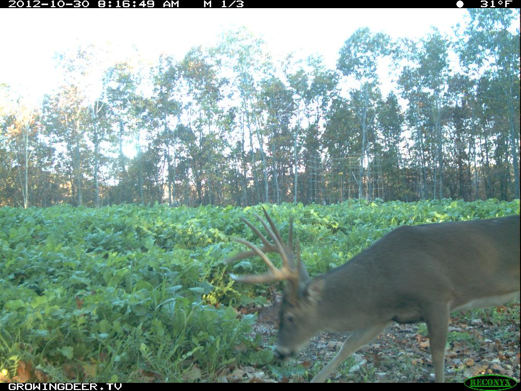 Whitetail Buck at a trophy rock station in the daytime during the rut
