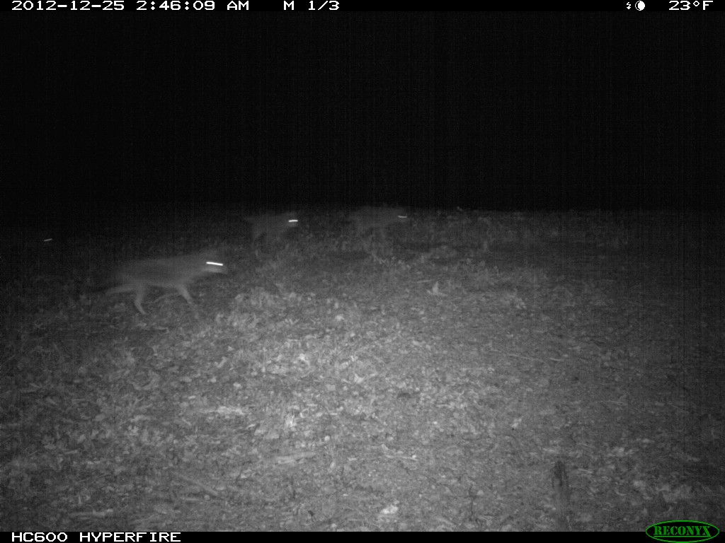 Image of  a pack of coyotes from trail camera at The Proving Grounds