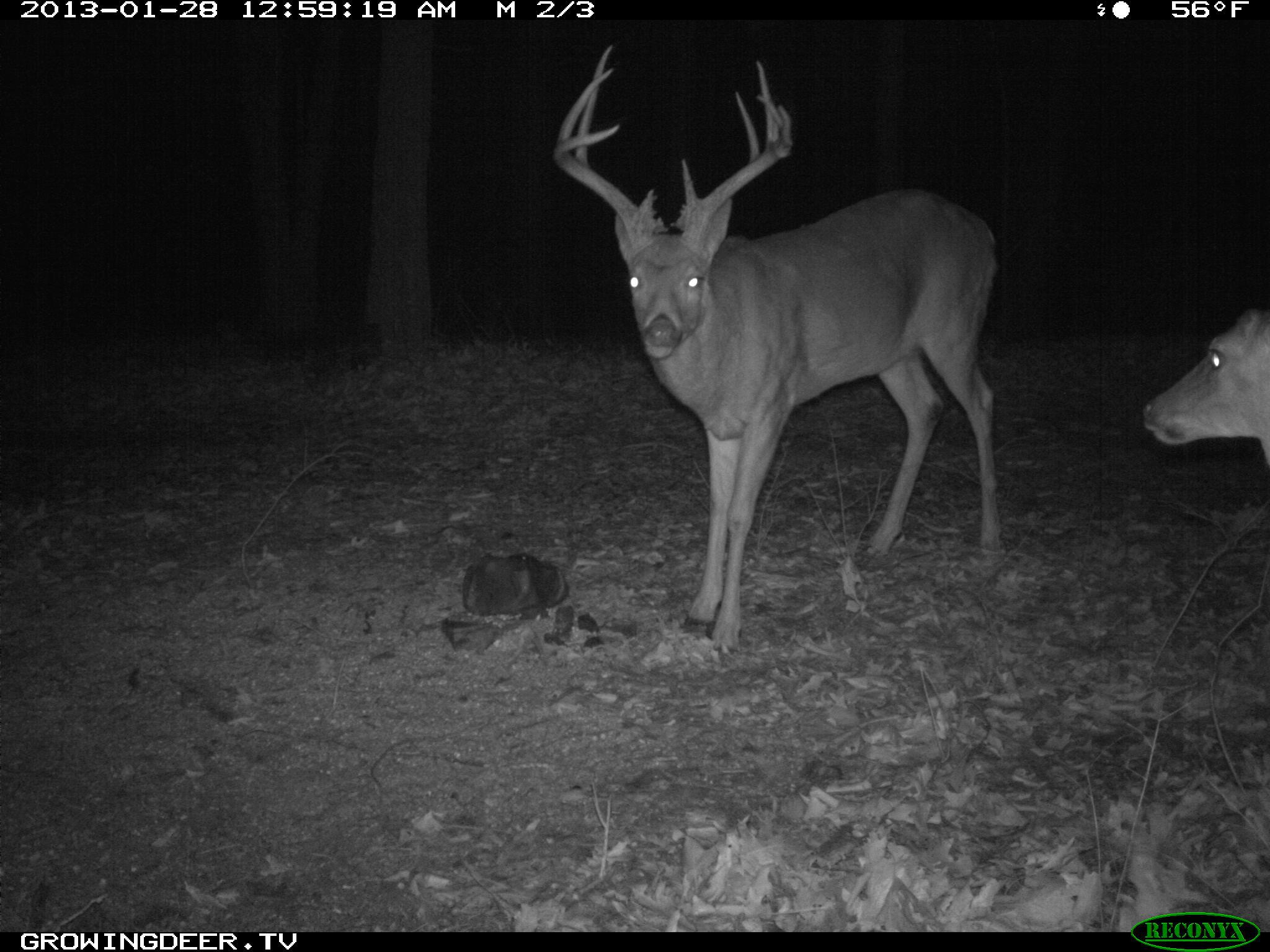 Reconyx Trail Camera Image of a Large White-tailed Buck we call Two Face