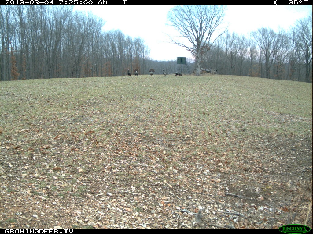 Trail Camera Photo of Strutting wild turkeys with a RedNeck Hunting Blind in the background