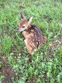 Does leave their fawns for hours at a time only returning to nurse.