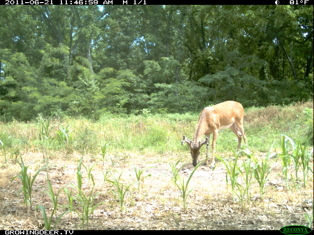Mature buck in velvet using Trophy Rock