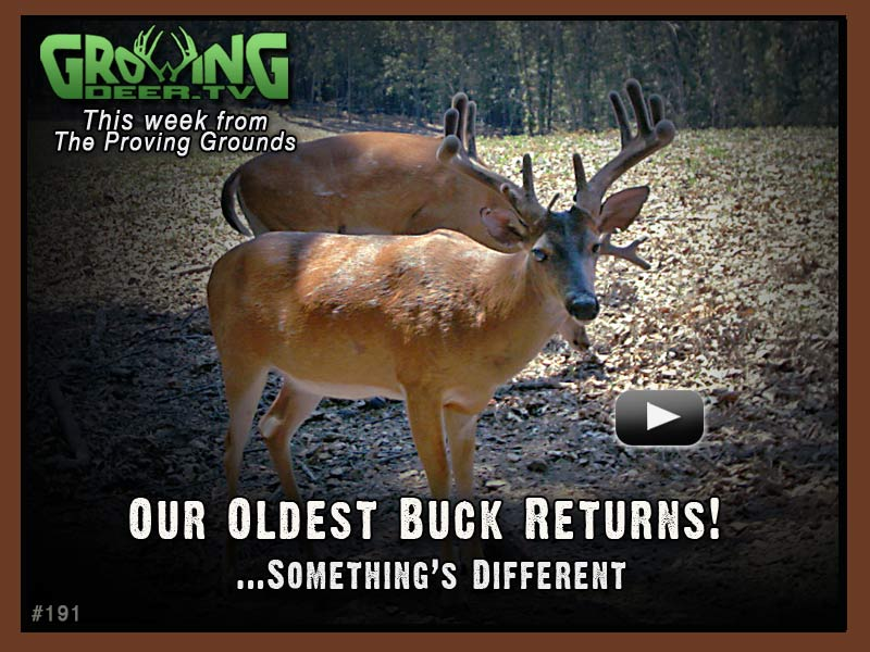 Our oldest buck returns in GrowingDeer.tv episode #191.