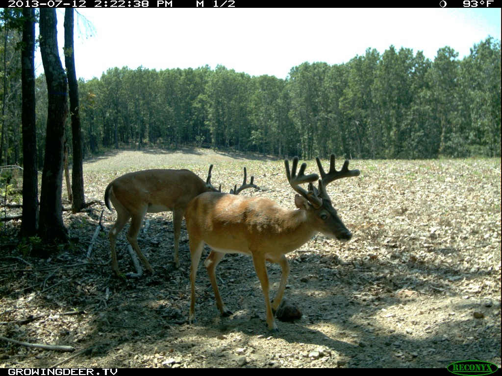 Two velvet bucks at a Trophy Rock