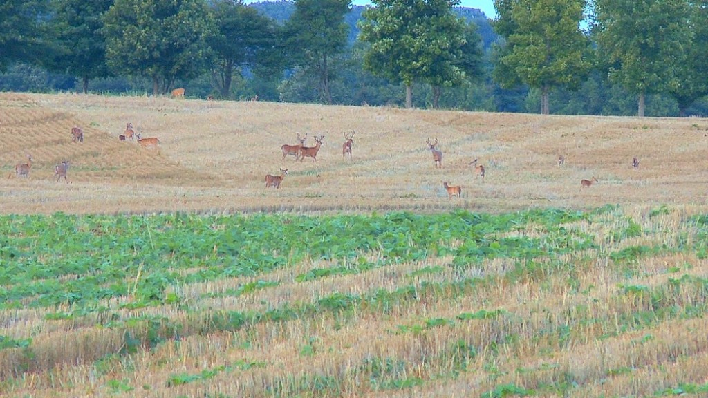 Bucks and does in large field in Midwest