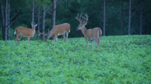 Bucks feed at soybean food plot in woods