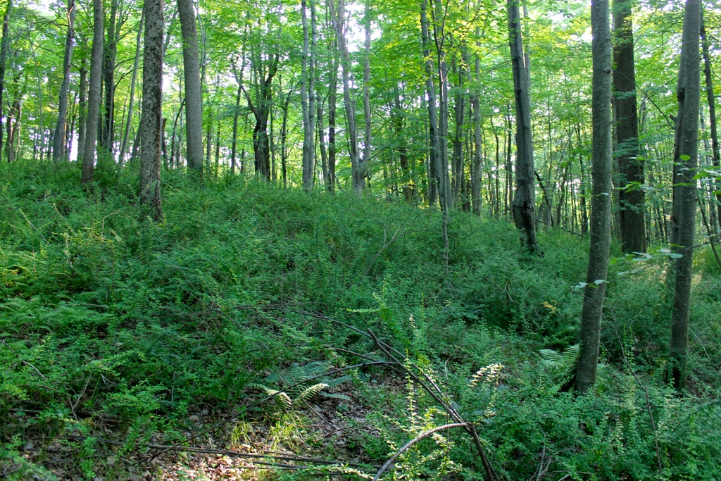 Hardwood forest with invasive plants