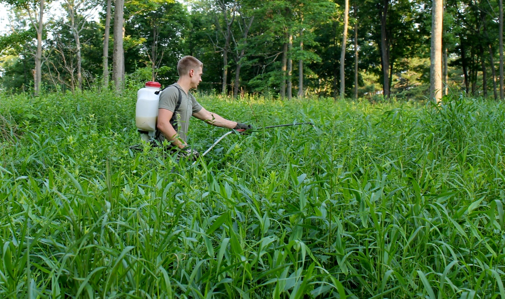 Treating invasive plants with back pack sprayer and herbicide