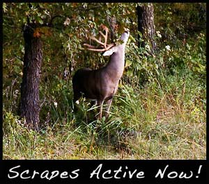 Bucks are most active at scrapes during the pre-rut.