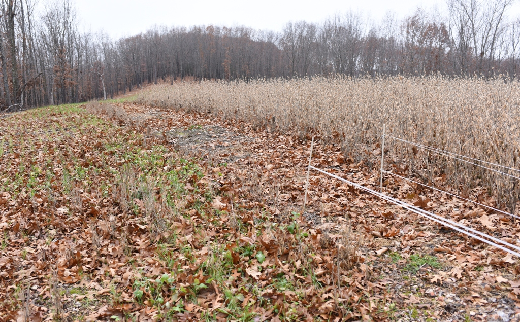 A small plot of standing soybeans opened for hungry deer.