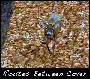 A buck uses a travel route between a bedding and cover area