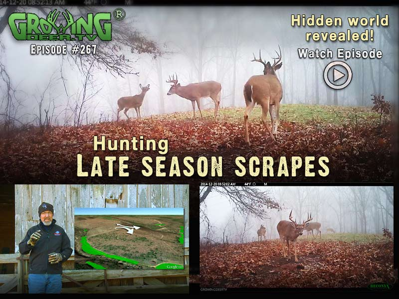 Find out if you should hunt scrapes in the last season on GrowingDeer.tv episode #267.