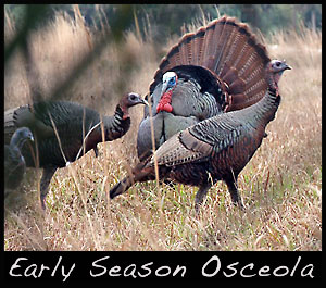 Early season Osceola turkey.