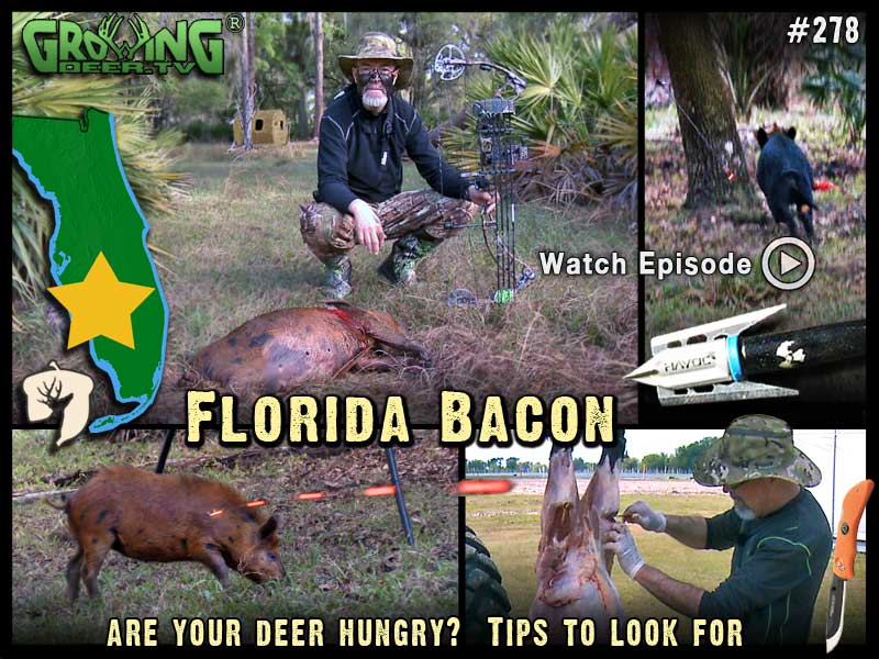 Watch a south Florida wild hog hunt in GrowingDeer.tv episode #278.