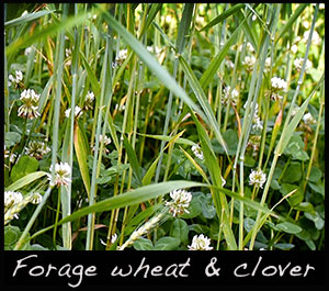 Forage wheat and clover