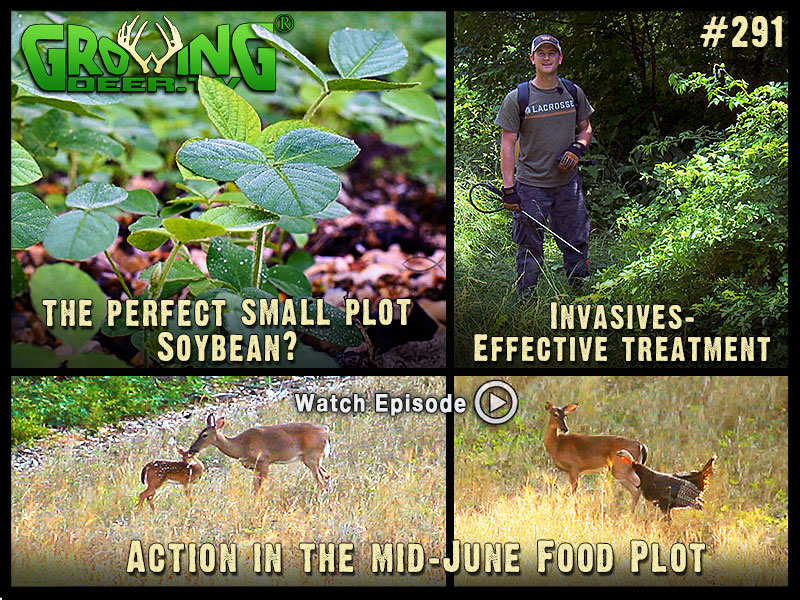 The ultimate soybean for small food plots in GrowingDeer.tv episode #291.