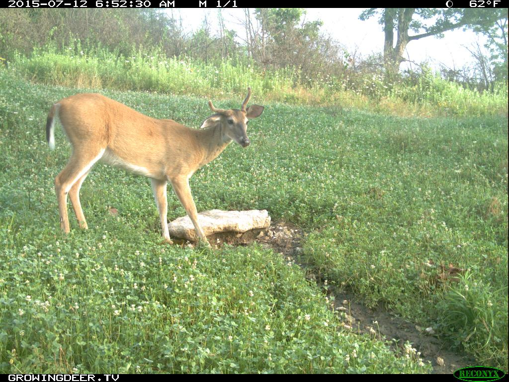 1.5 year old buck, example of a deer not to cull