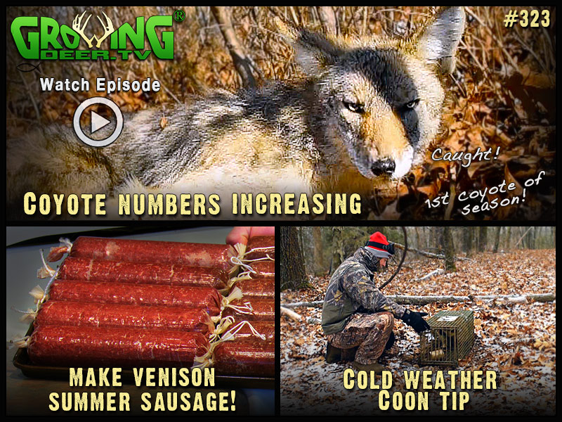 Our first coyote of trapping season in GrowingDeer episode #323.
