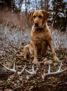 Shed antlers found with a shed hunting dog