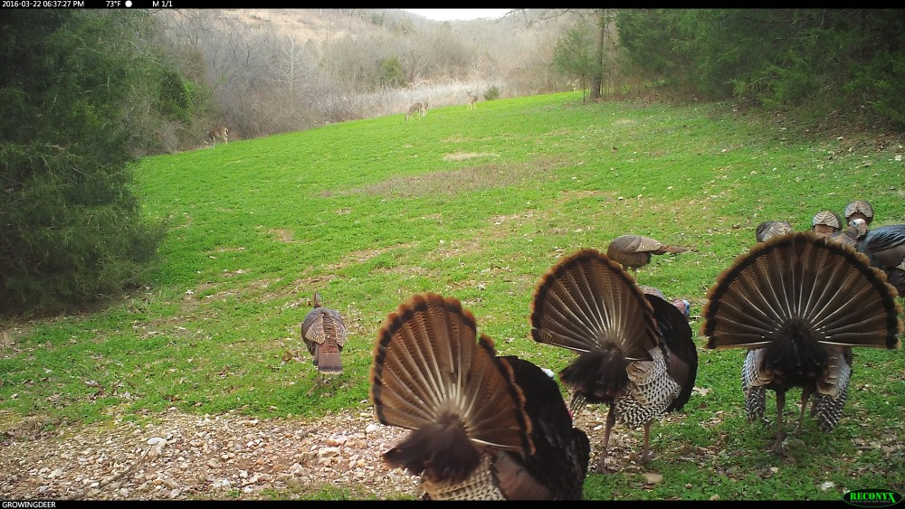 Gobblers during early season