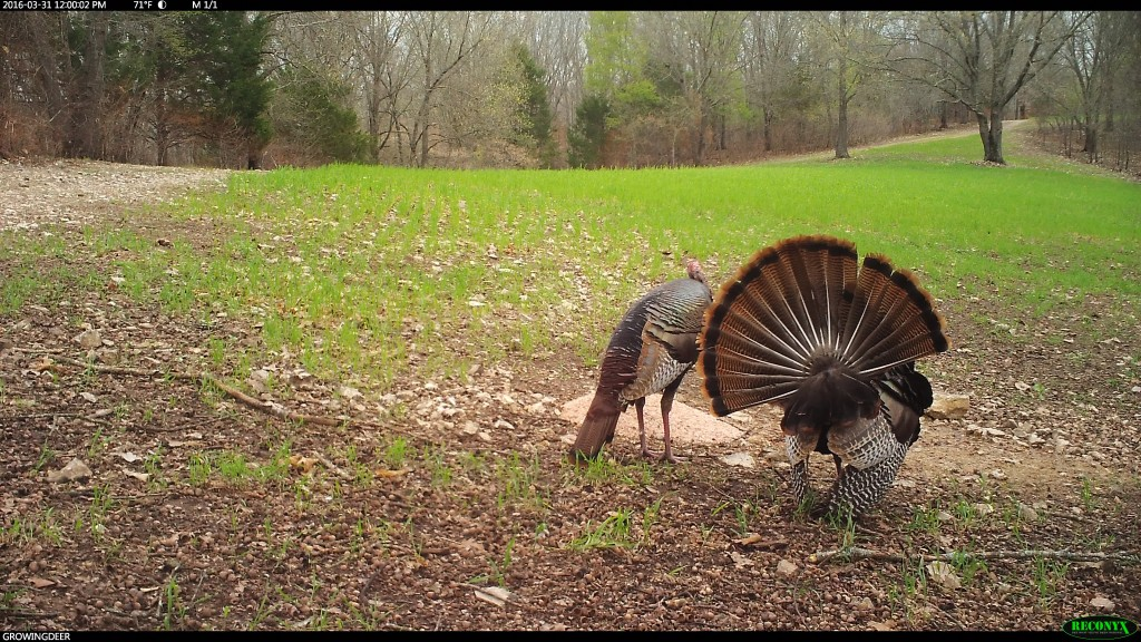 These lonely gobblers make prime candidates to chase during a late morning hunt!