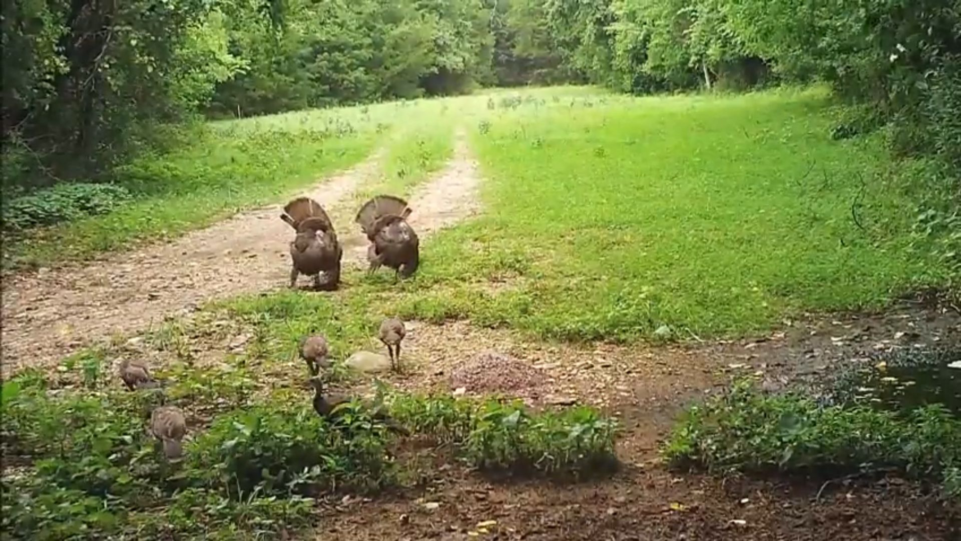 These poults are learning to strut.