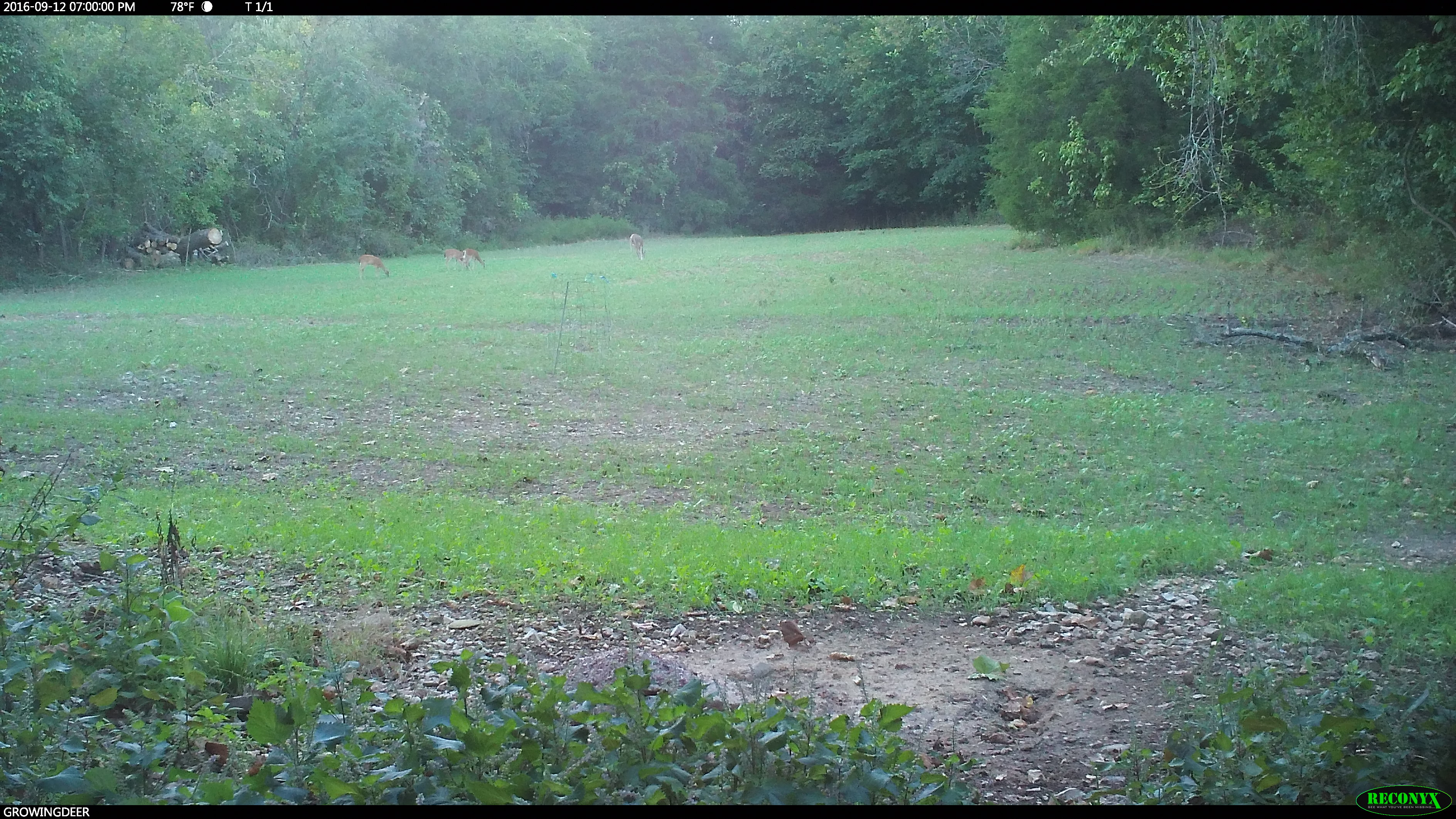 Deer in a food plot