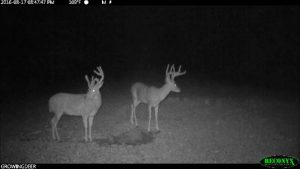 Image of two bucks at night