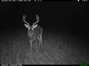 A buck in a food plot at dark