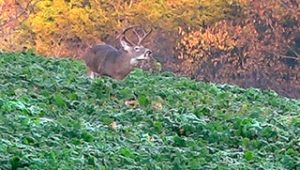 A buck feeding mid-day in an Eagle Seed food plot.