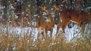 A buck feeding in a food plot during a snowfall.
