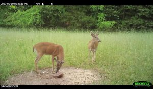 Two bucks at a Trophy Rock
