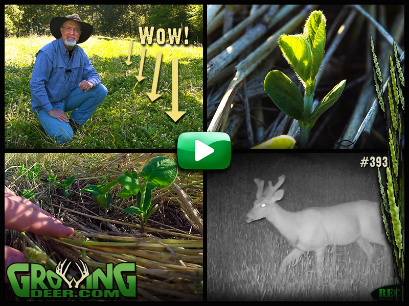 Learn how to maximize your food plots in GrowingDeer episode 393.