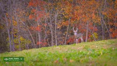 A buck stands at the edge of an open field