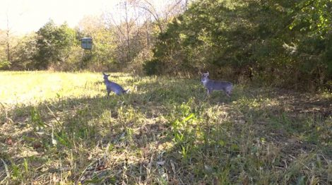 Two deer decoys