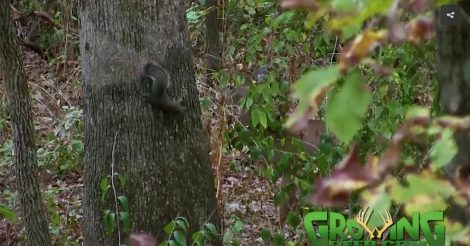 A squirrel plays hide and seek with a young buck