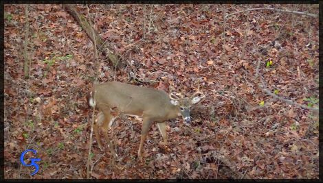 A buck walking through the forest