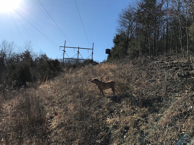 dog standing in native grass on a powerline with a redneck box blind in distance