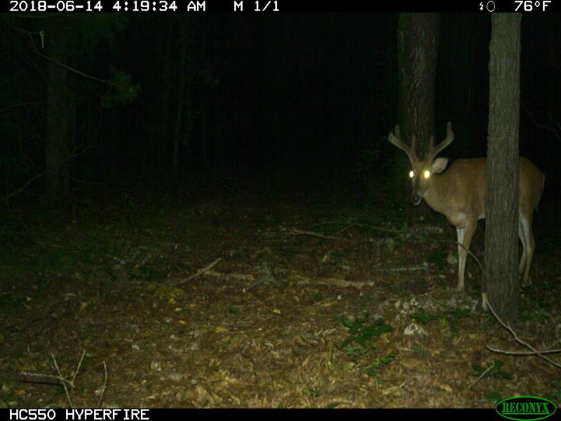 Broadside picture of a buck using a trail