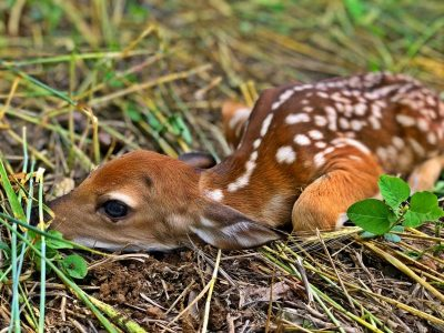 fawn in food plot